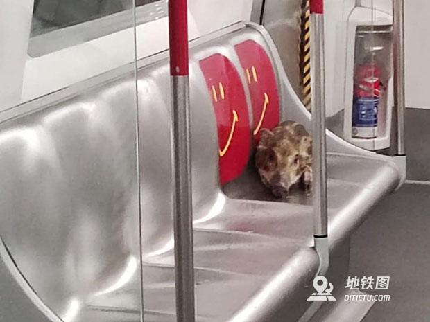 猪宝宝登港铁游车 被捕获后放生